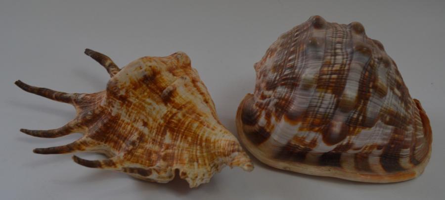 2 Decorative Sea Shells