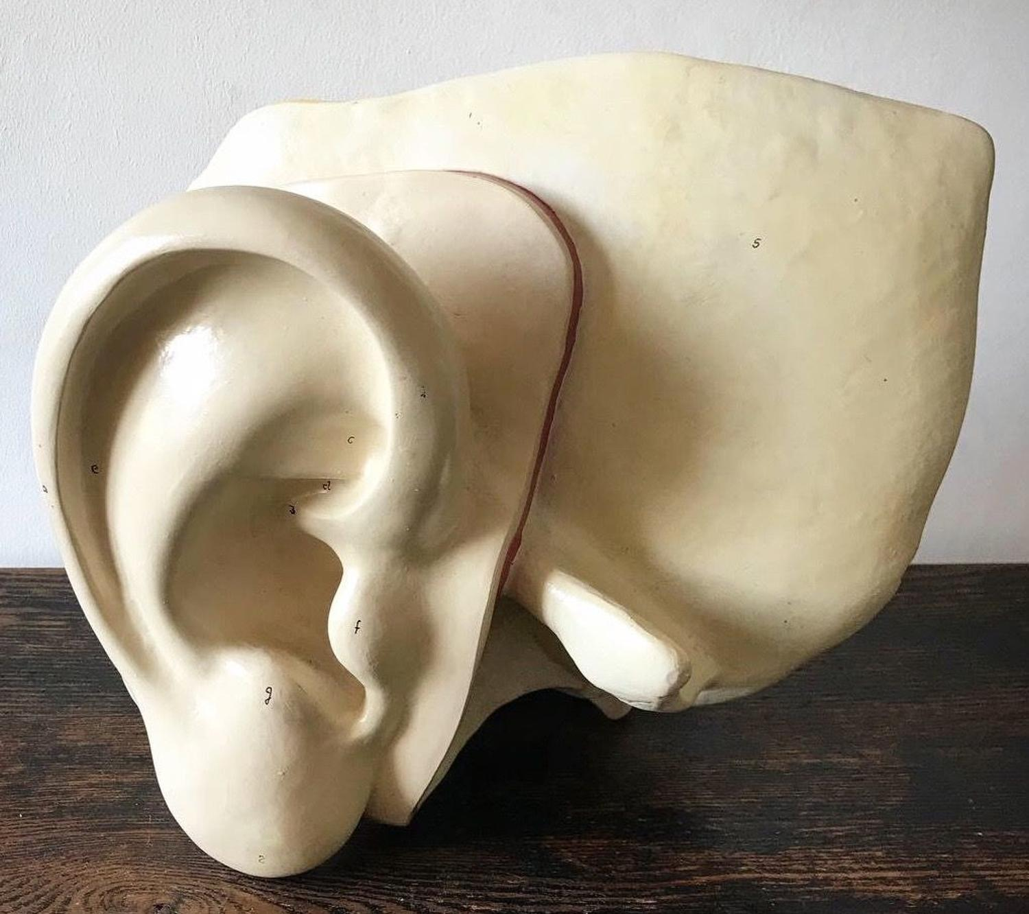 LARGE MEDICAL STUDY MODEL OF THE EAR