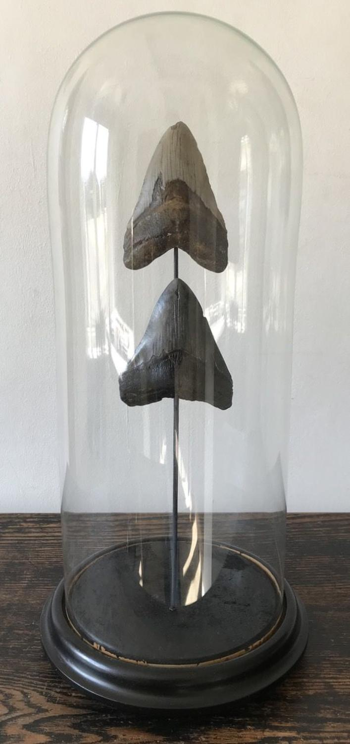 MEGALODON FOSSIL SHARK TEETH