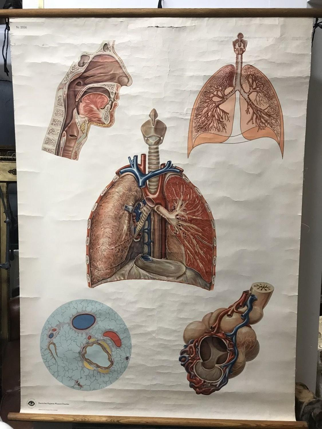 MID CENTURY ANATOMICAL WALL CHART